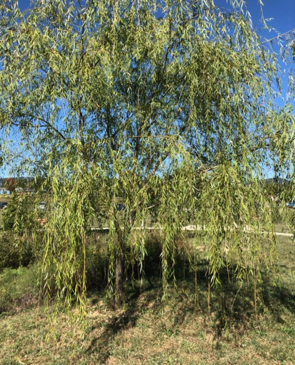 Weeping Willow's Song
