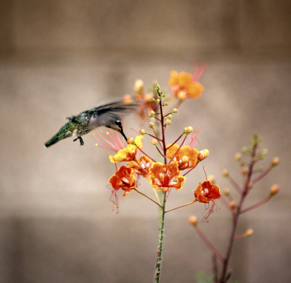 A Hummingbirds Flight