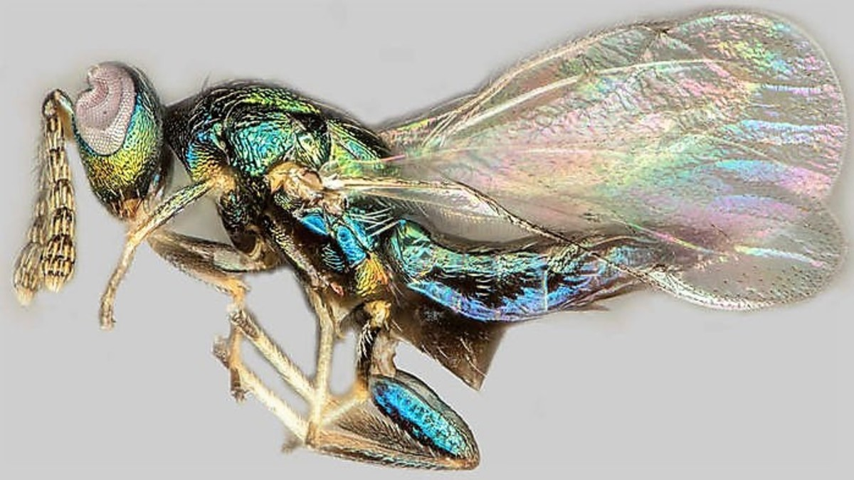 A crypt-keeper wasp