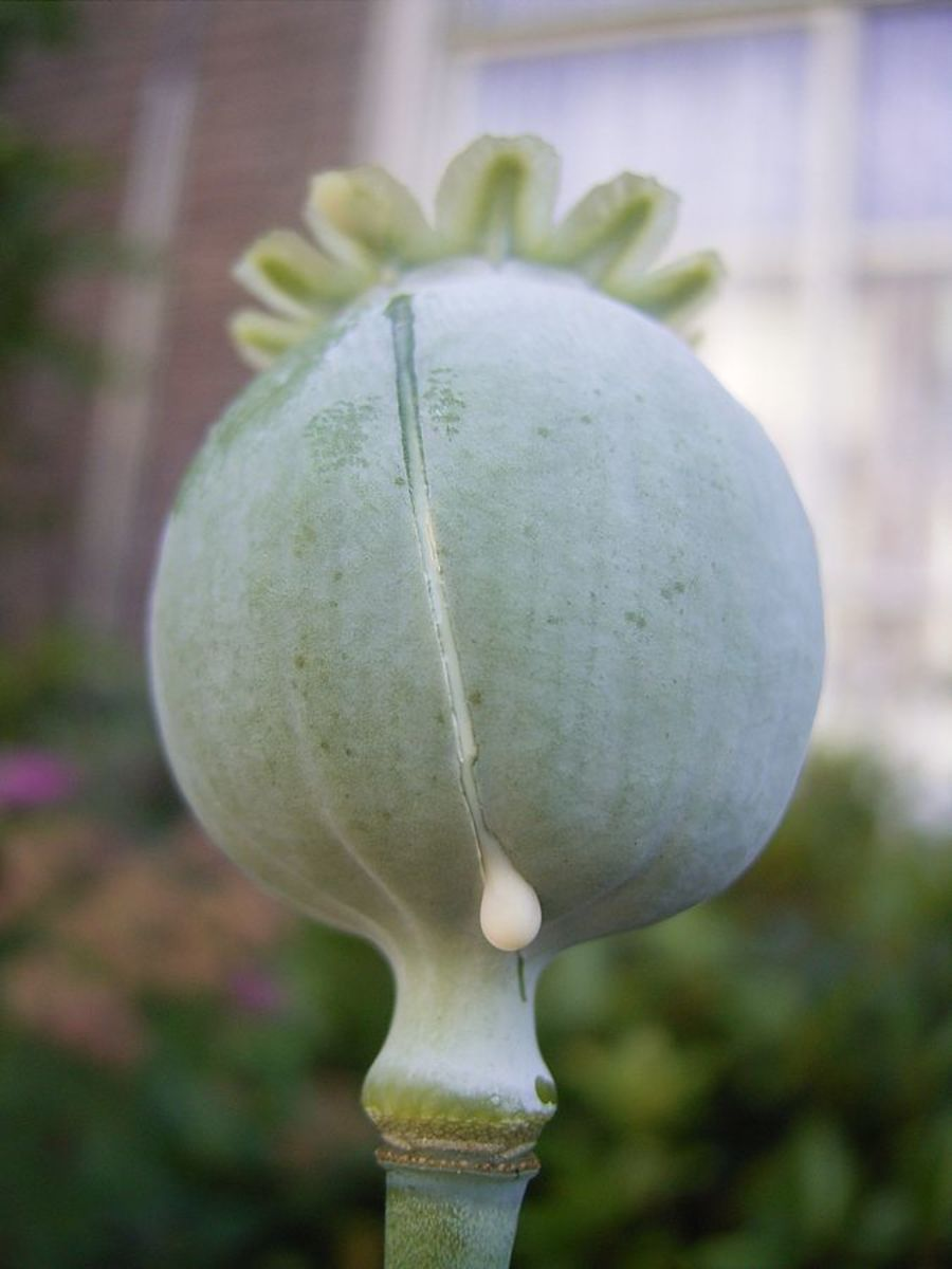 The pod of the Lachryma papaveris produces a milky latex that is opium.