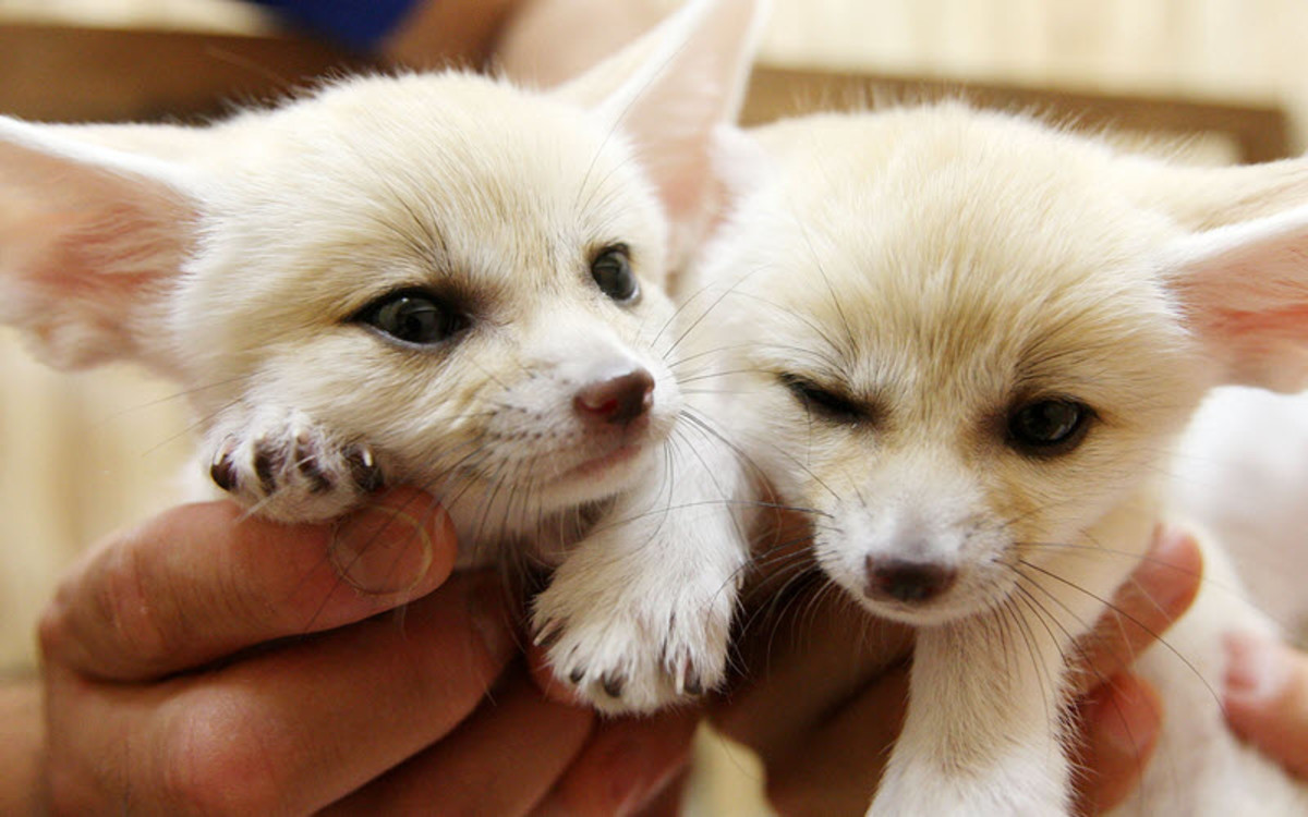 Fennec fox kits being held