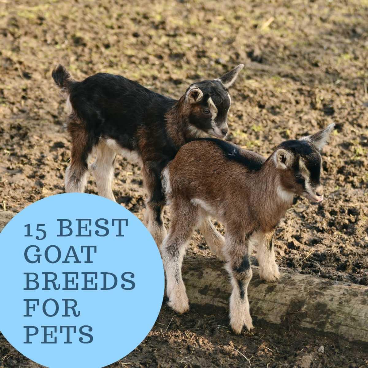 15 Best Goat Breeds for Pets