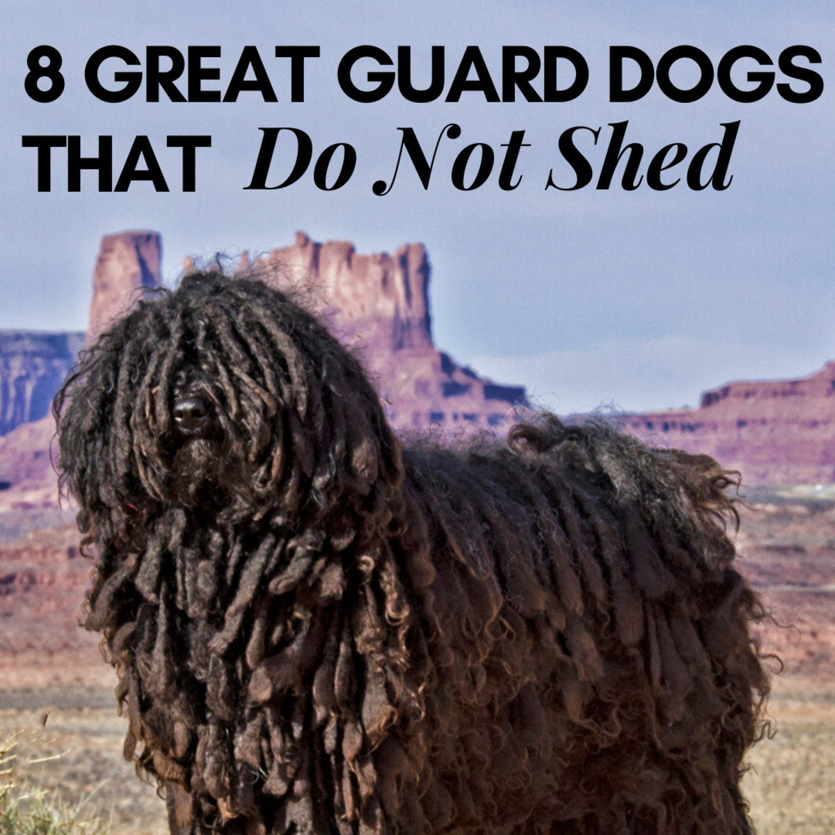 Looking for a large guard-dog companion that won't shed all over the place? Consider these eight breeds.