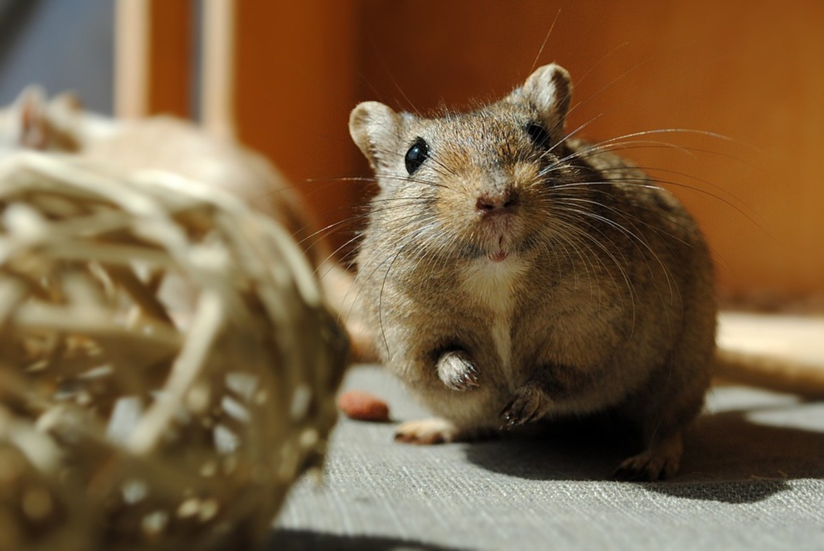 Gerbils are small rodents that love to play. Make sure you learn how to properly care for these wonderful pets.