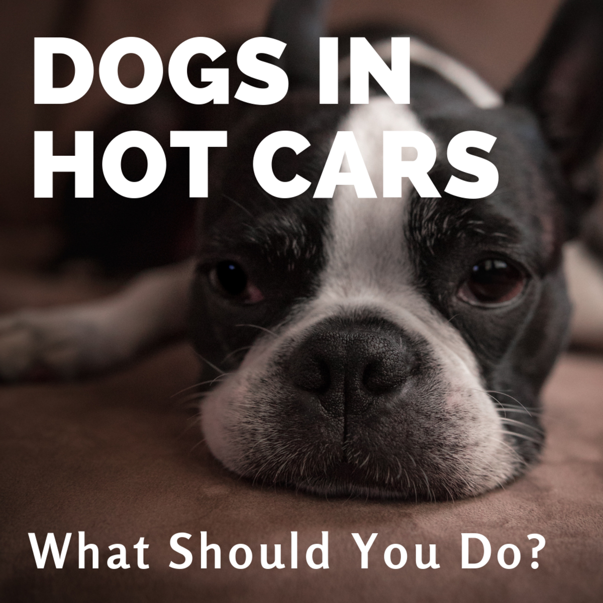 What to Do If You See a Dog in a Parked, Hot Car