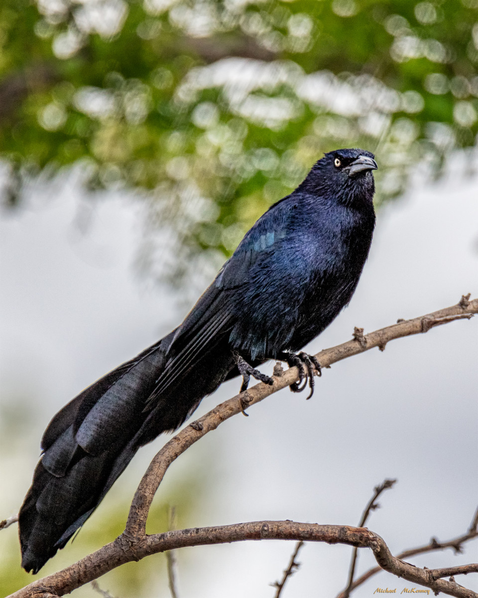 The male great-tailed grackle is iridescent black with piercing yellow eyes.  It is a long-legged slender bird with flaired V-shaped tail feathers.