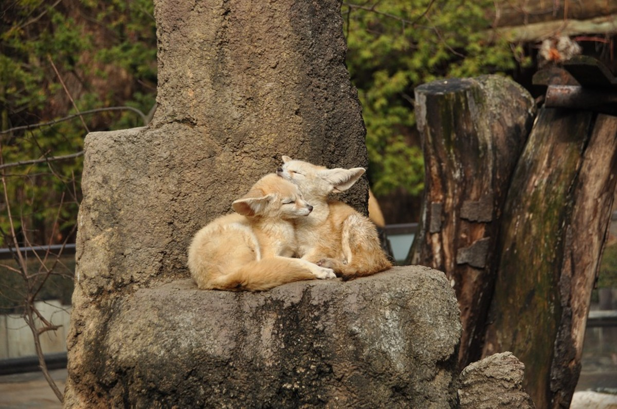 What Do Fennec Foxes Eat in the Wild and in Residential Homes?