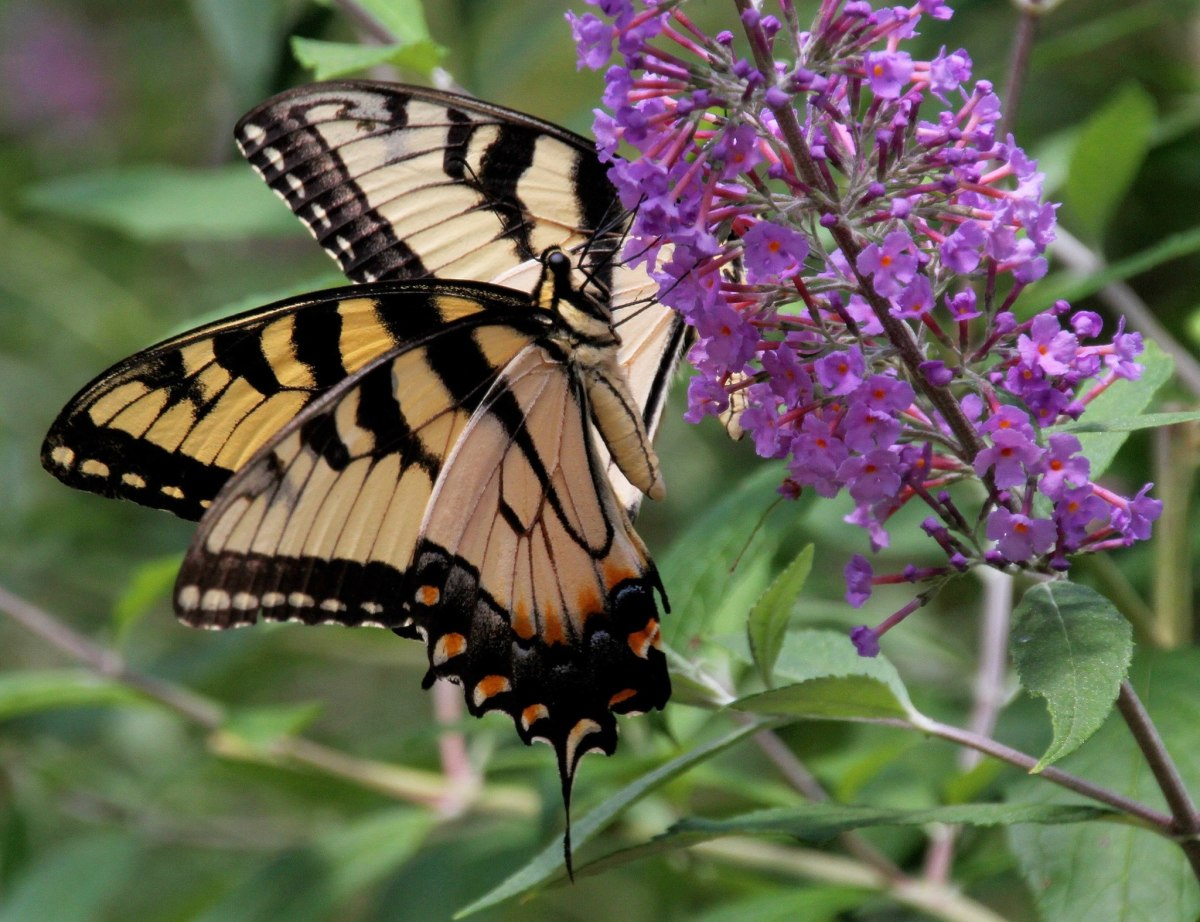 (Tiger Swallowtails) Watching butterflies can remind us of our innocence.