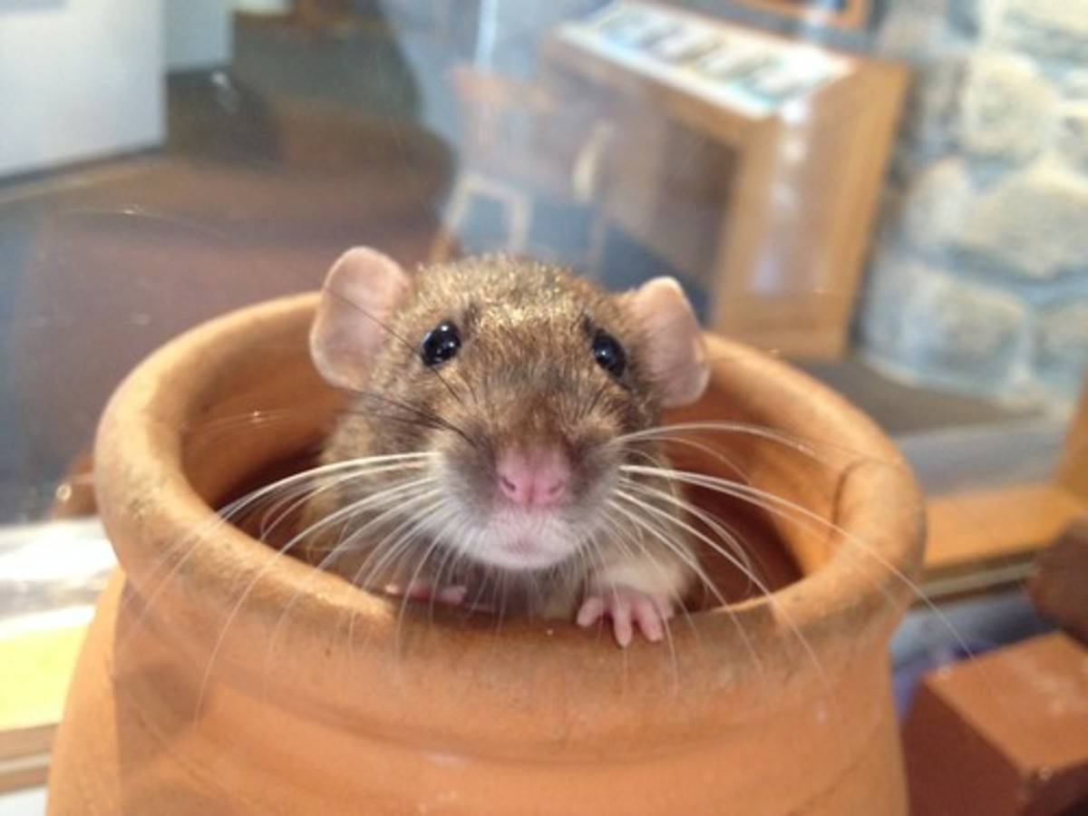 Rats: The Bad and the Good