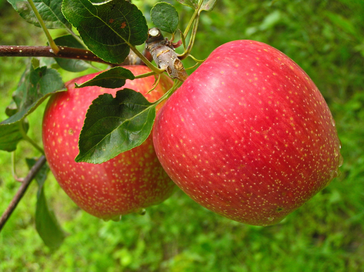 4 Amazing Health Benefits of Apples