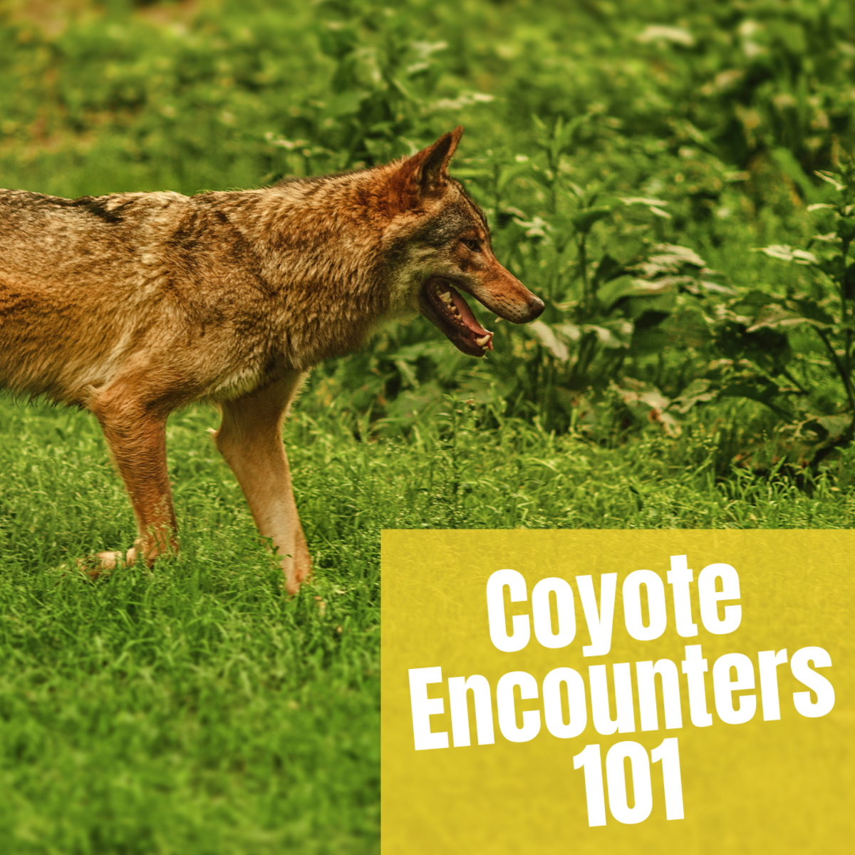 Do you know what to do if you see a coyote?
