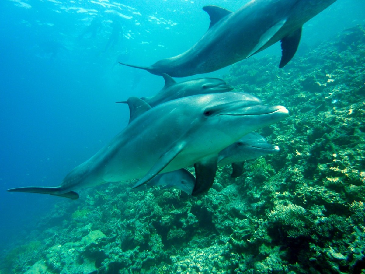 Why Are Dolphins Endangered?