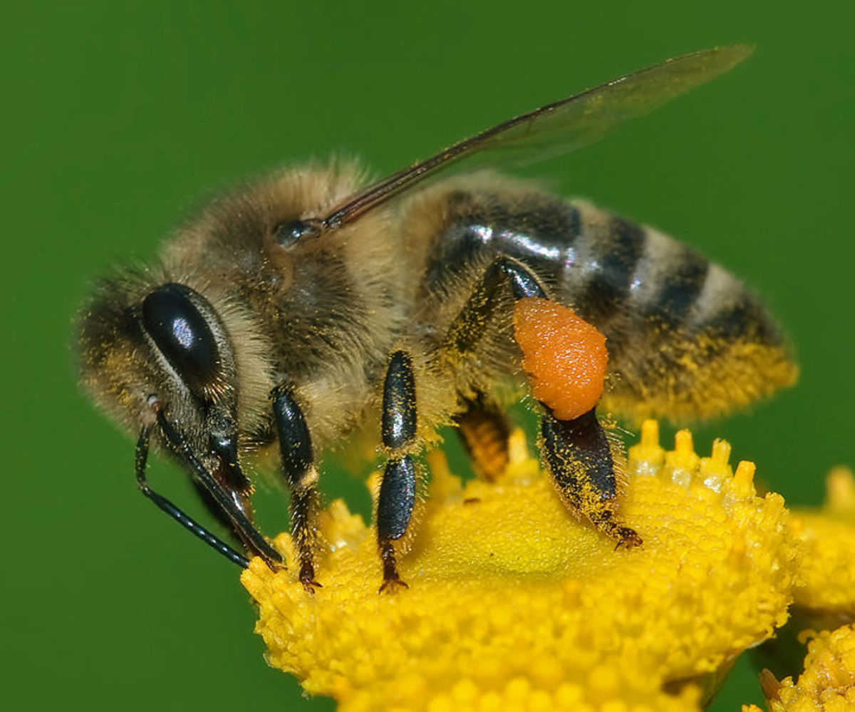 the-folklore-of-bees