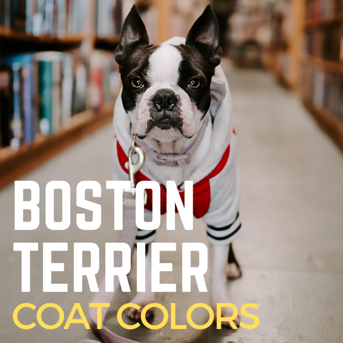 Boston Terrier Coat Colors