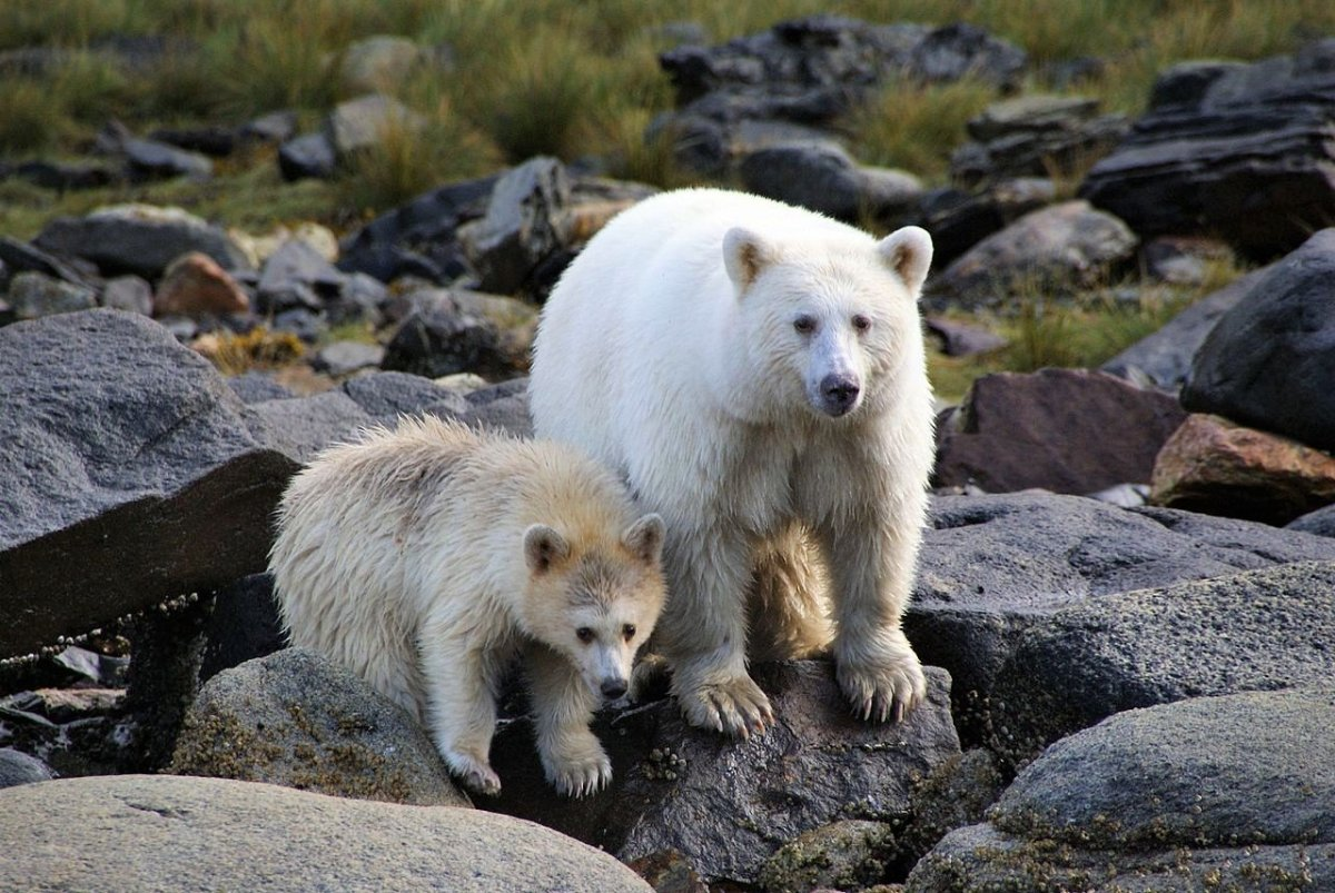 Spirit Bears in Klemtu, British Columbia
