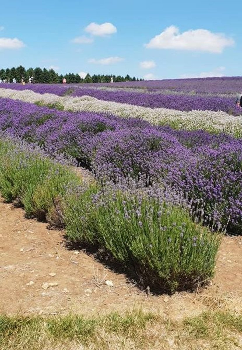 Rows of lavender plants straddle the hillside.