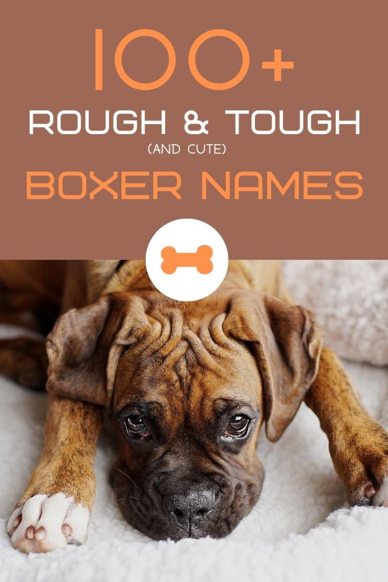 100+ Rough and Tough Boxer Dog Names