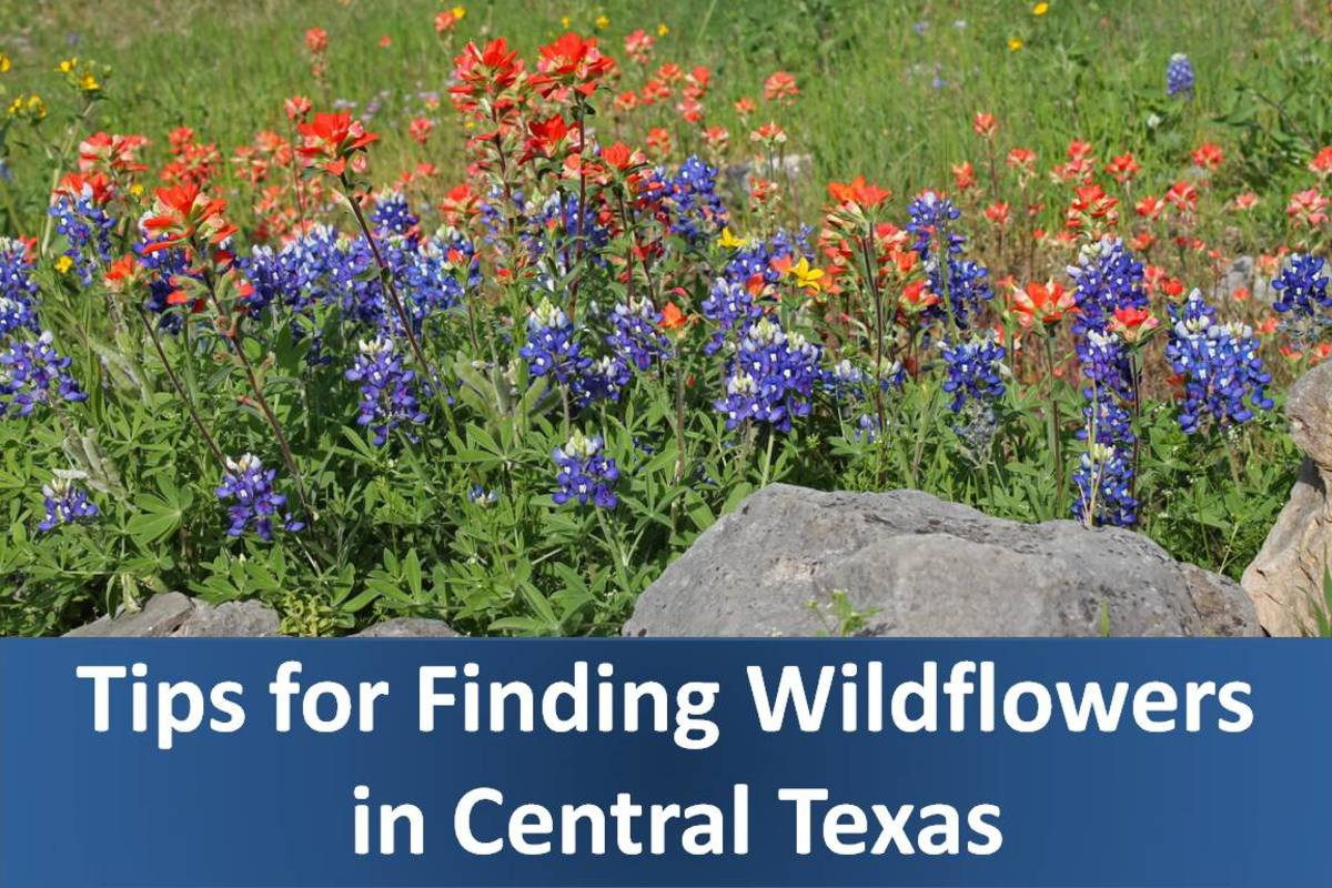 Where to Find Bluebonnets and Other Wildflowers Near San Antonio and Austin, Texas