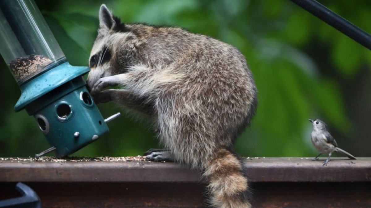 Raccoons are hard to outsmart, as anyone who has ever had dealings with them can attest.  When it comes to intelligent animals, they rank right up there with dogs.  This little bird seems to be waiting its turn at the birdfeeder.