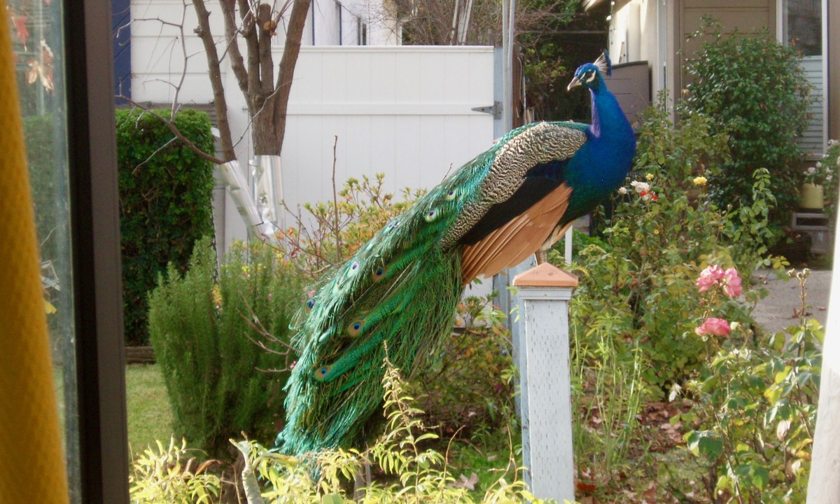 How Feral Peacocks Stay Alive in Urban Neighborhoods