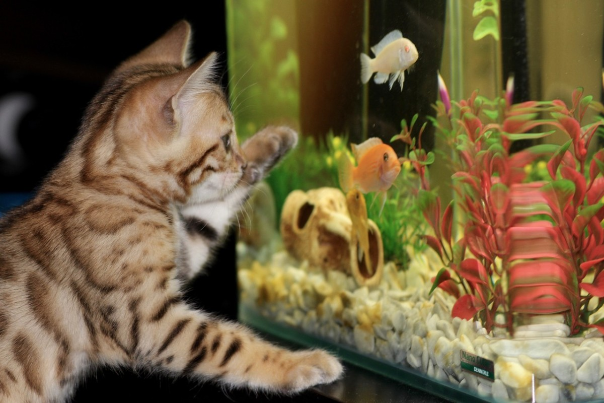 A kitten eyeballing an aquarium.
