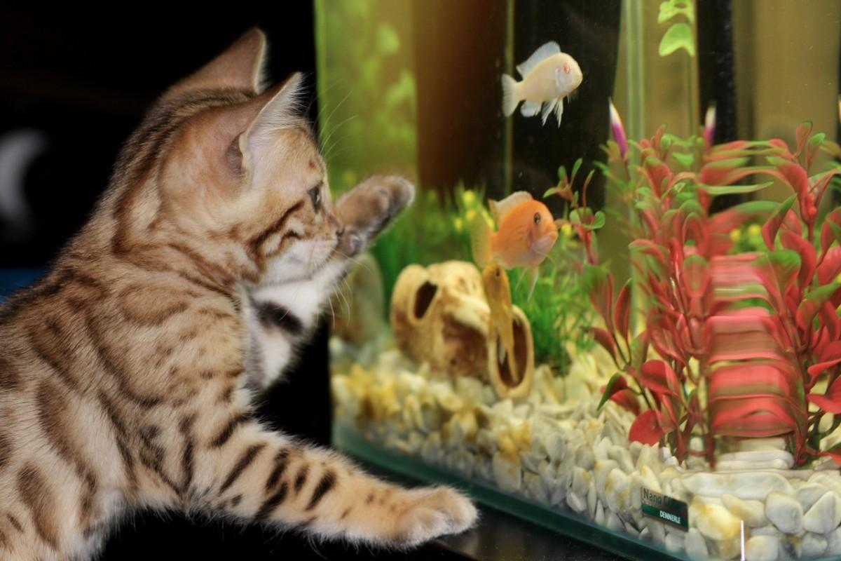 A kitten eyeballing an aquarium.
