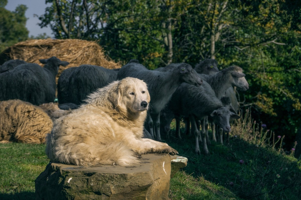 An Abruzzese Sheepdog guarding his flock.