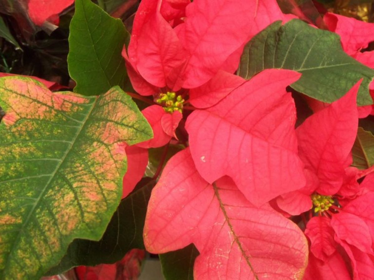 How to Save a Poinsettia for Next Christmas