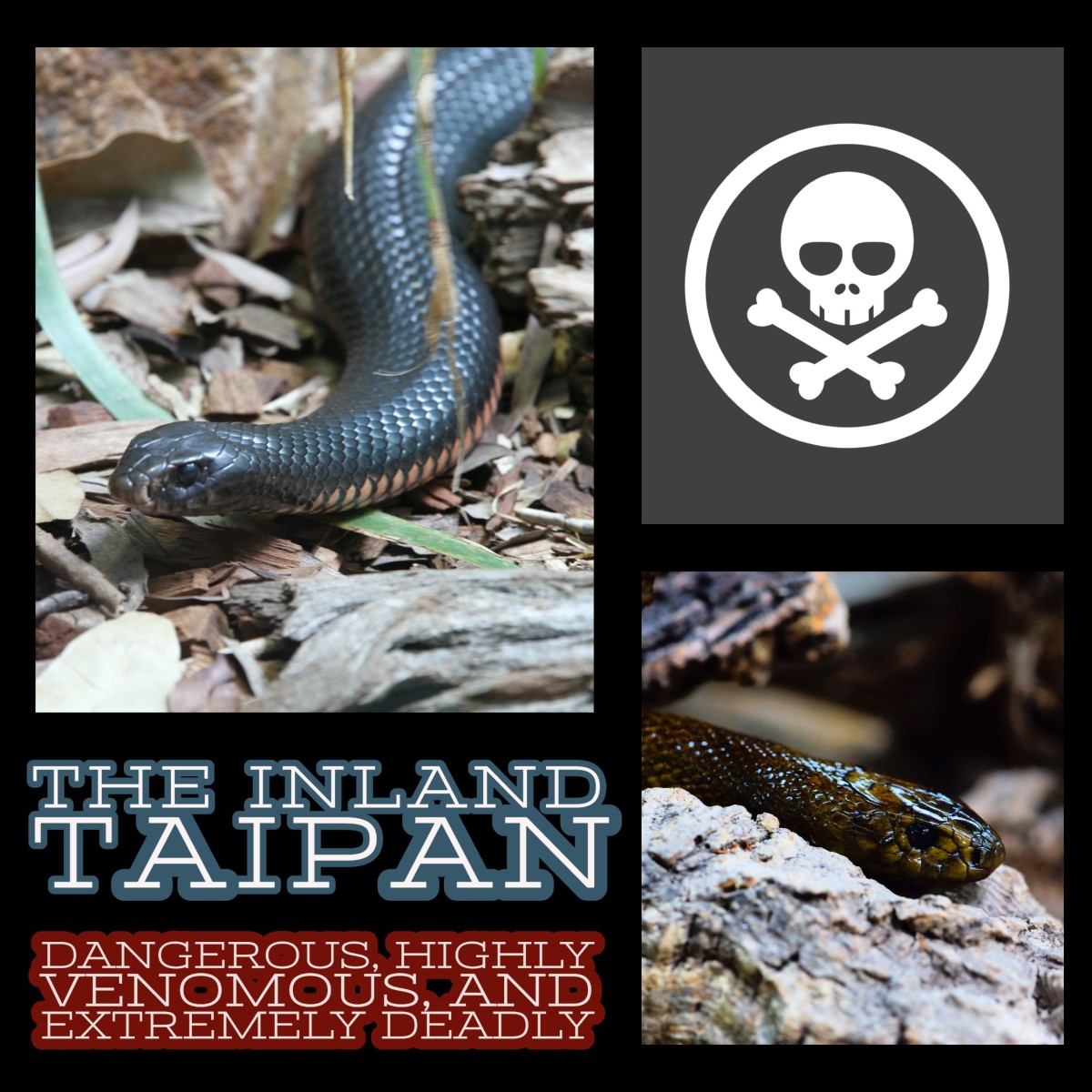 The Inland Taipan: Dangerous, Highly Venomous, and Extremely Deadly.