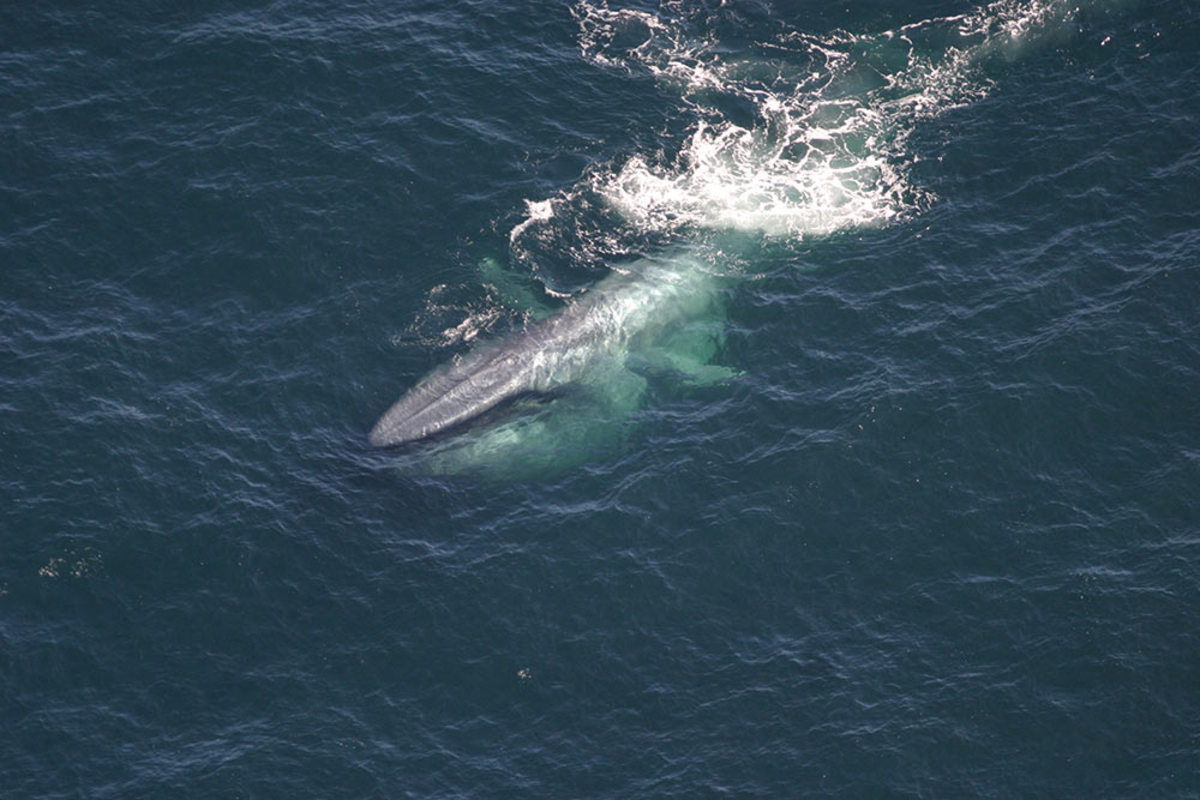 35 Facts About the Blue Whale