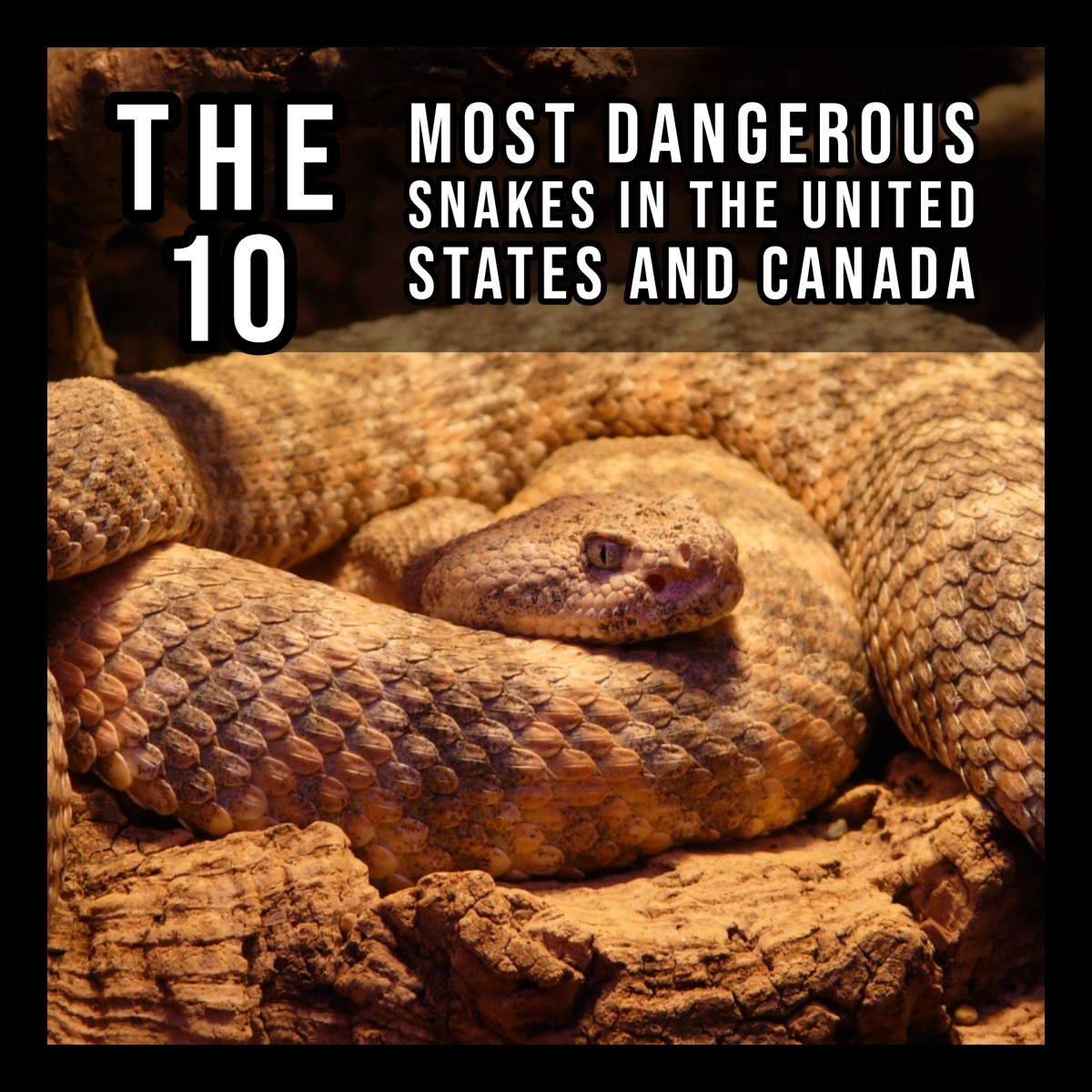 The 10 most dangerous snakes in North America.