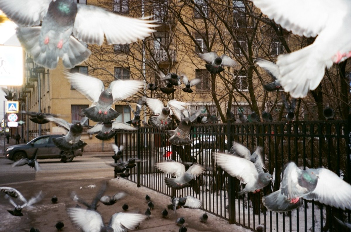 A flock of urban pigeons means soiled paintwork if you park in their flight path.
