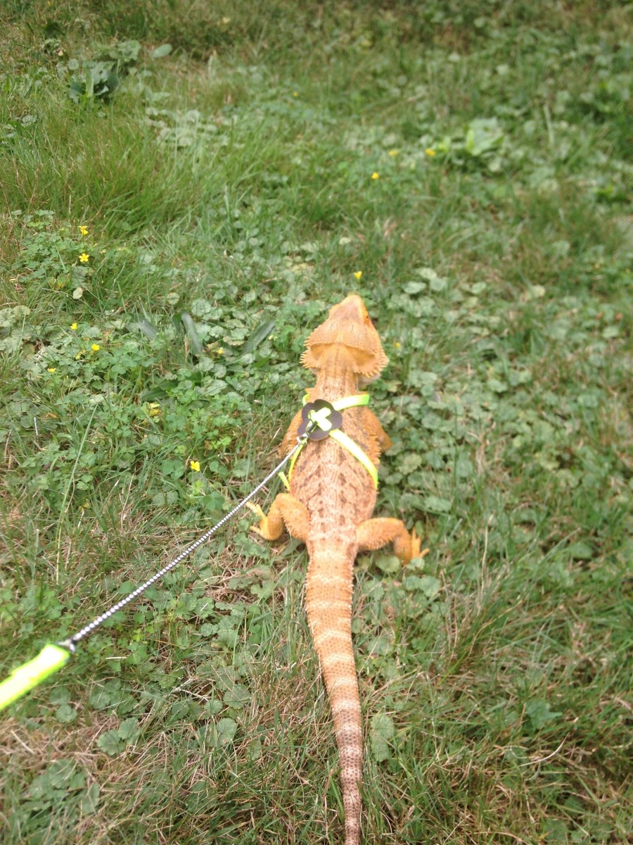 A bearded dragon on a leash.