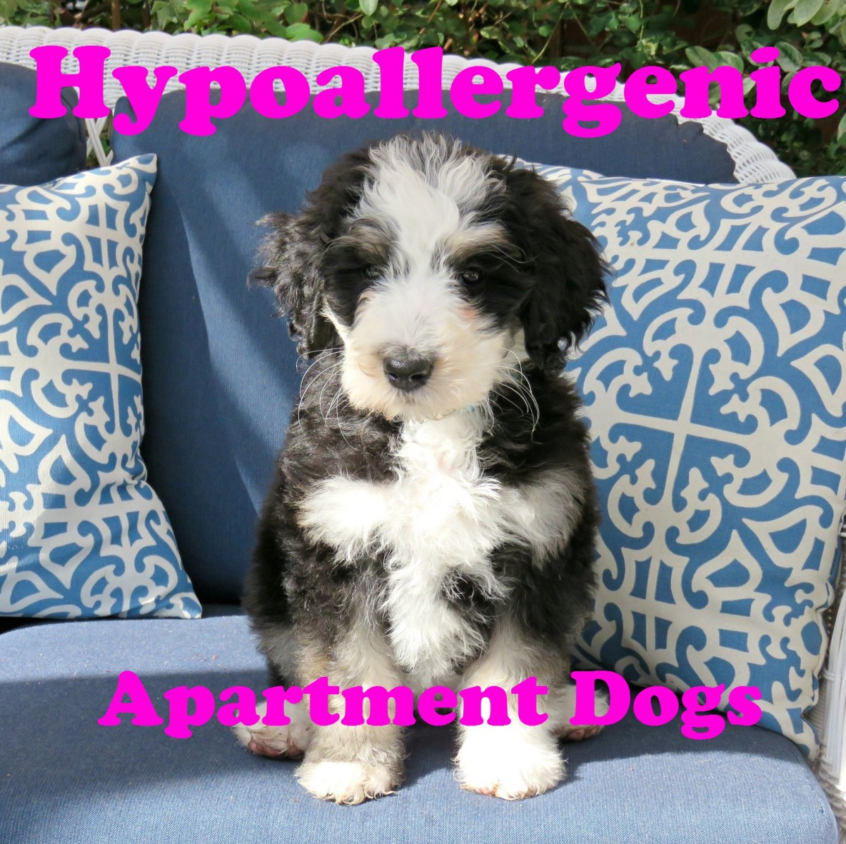 18 Best Hypoallergenic Dog Breeds for Your Apartment (Small, Medium, and Large)