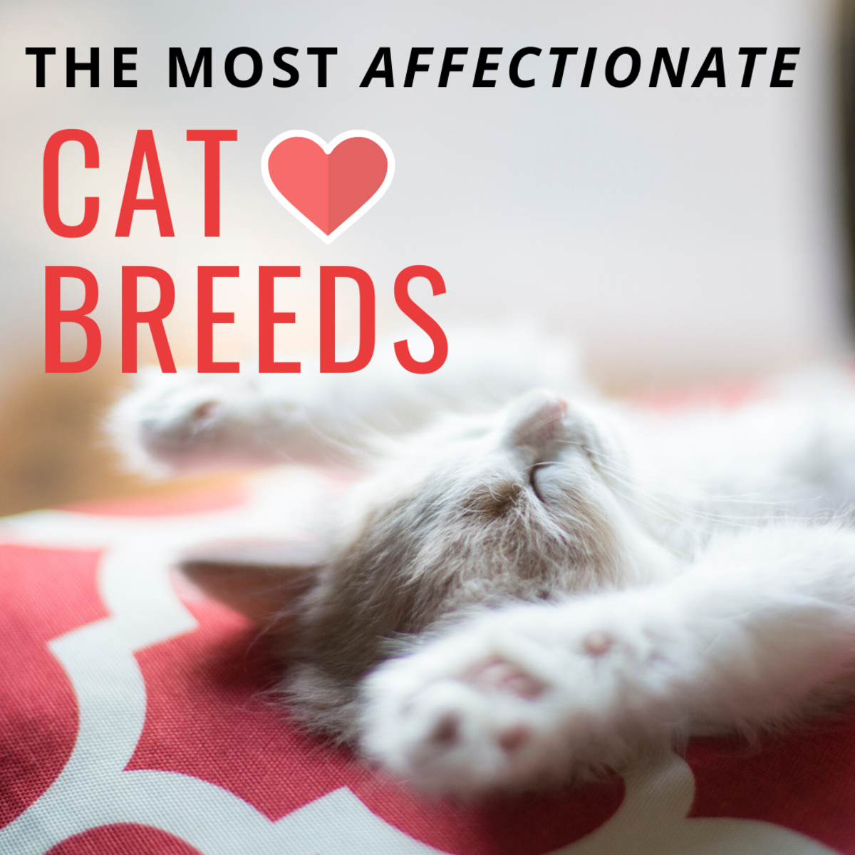 Top 10 Most Affectionate Cat Breeds