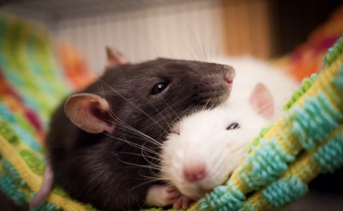 Why Rats Are Good Pets to Have