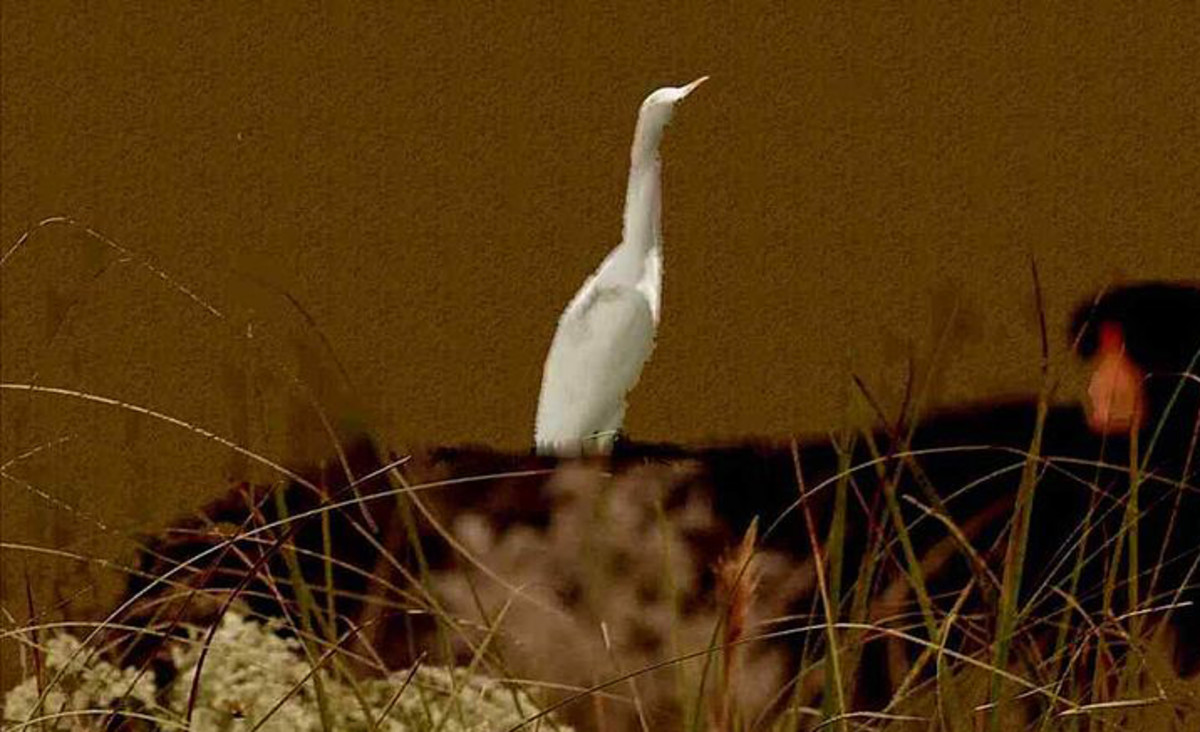 The Perfect Egret and Other Complaints