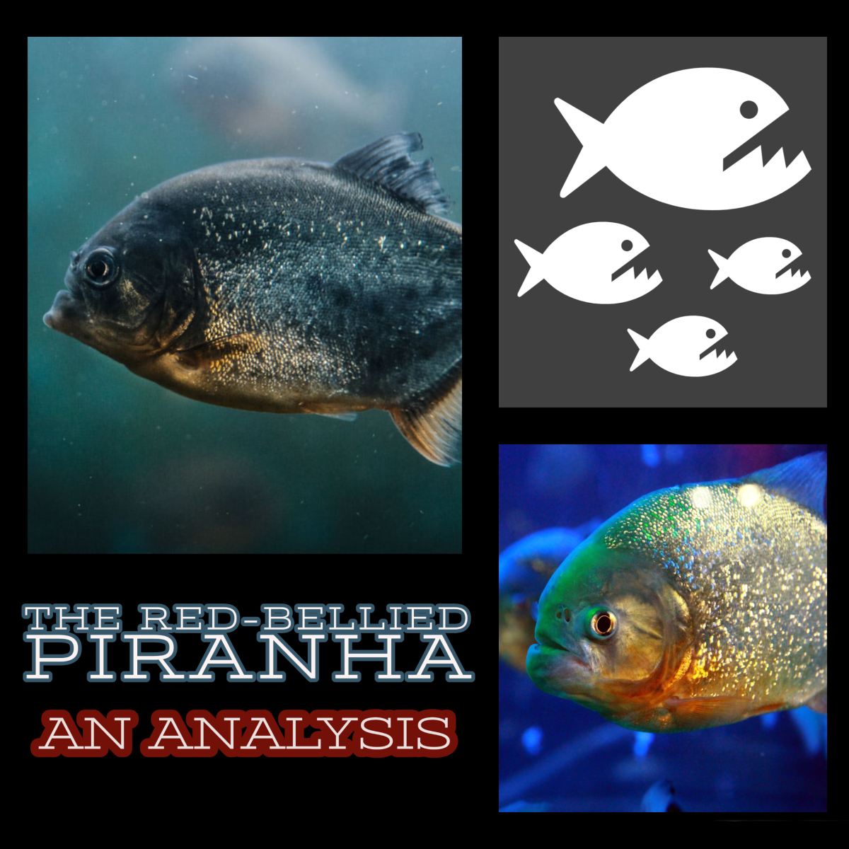 The Red-Bellied Piranha.