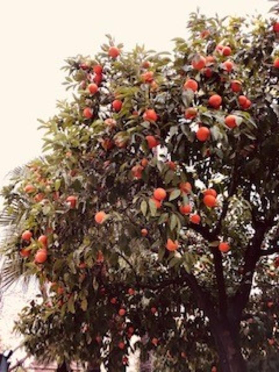 The Delight of the Orange Trees