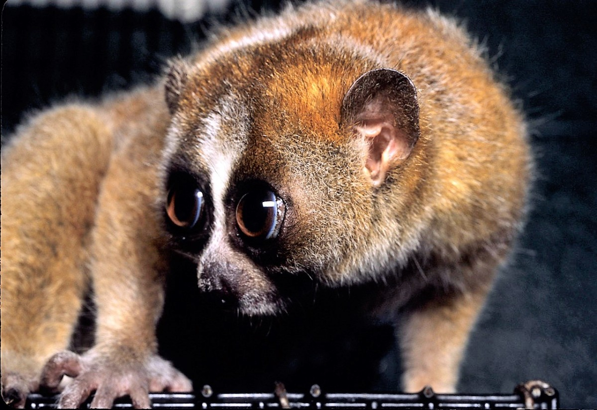 The pygmy slow loris, or Nycticebus pygmaeus