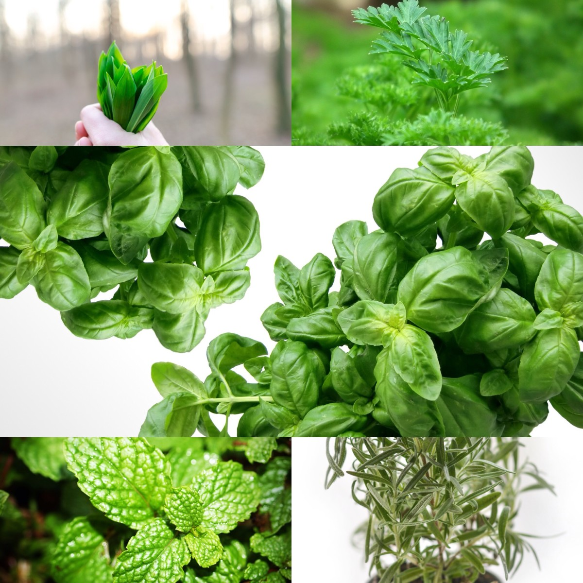 herbs you can grow in water or soil