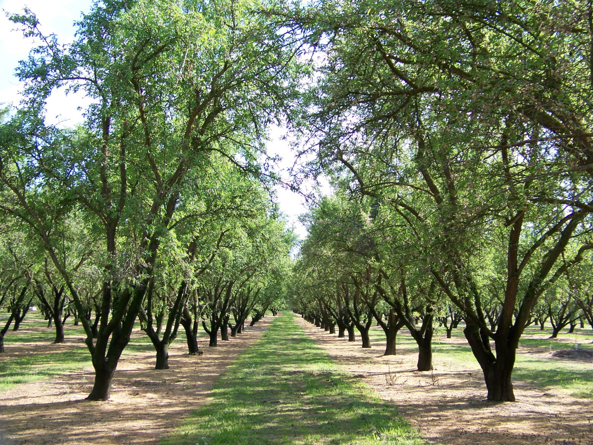 America is the largest almond producer in the world.