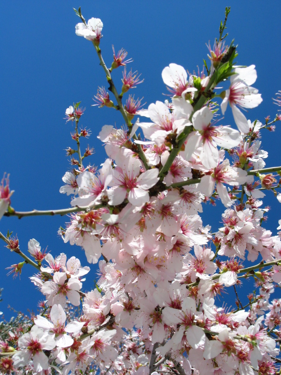 Flowers of the sweet almond tree