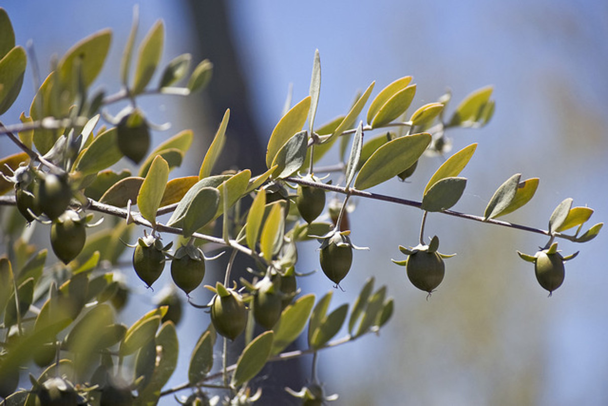 Jojoba oil is the best choice of vegetable oil for DIY perfume or body spray.