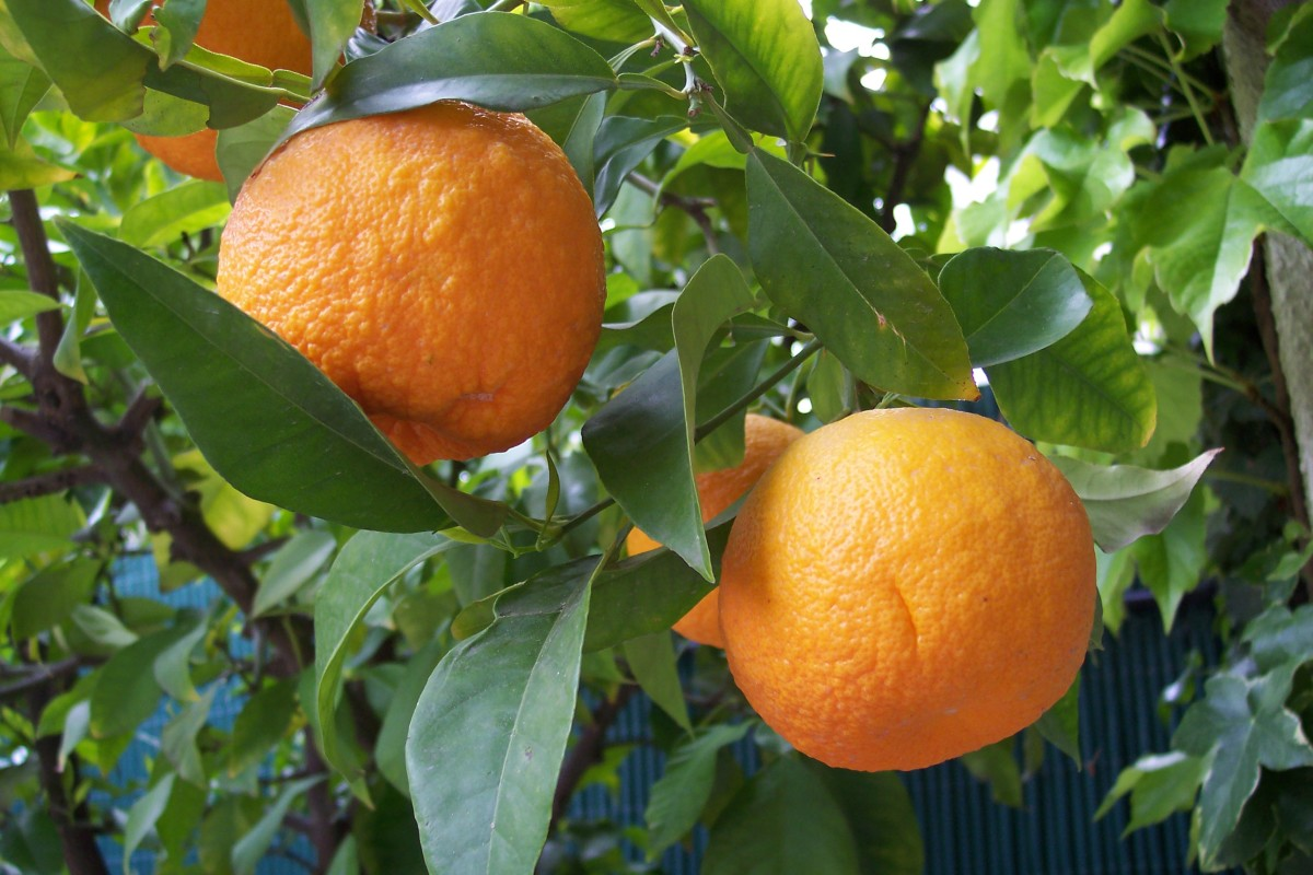 Bitter orange tree.