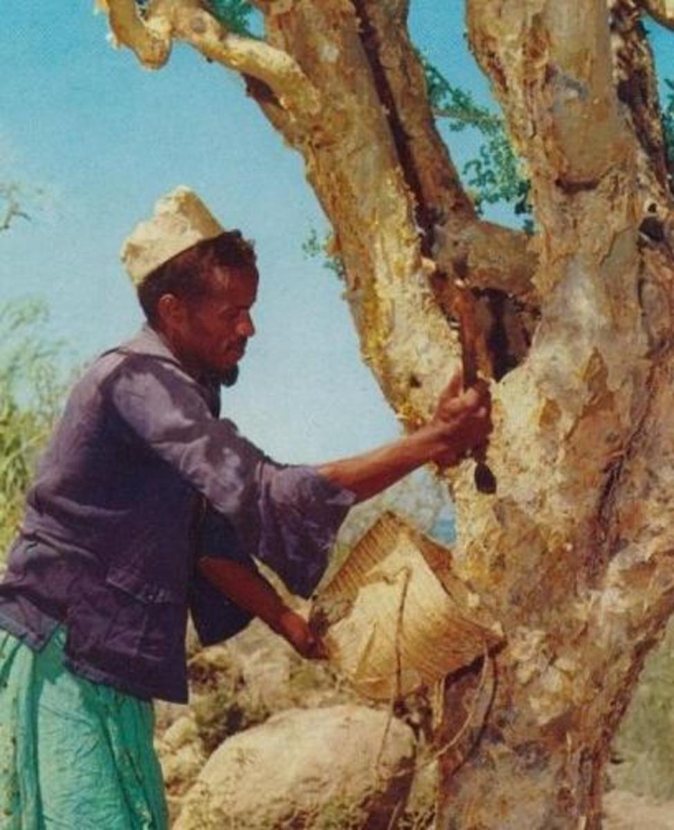 A Somalian man collects the resin to extract frankincense oil from.