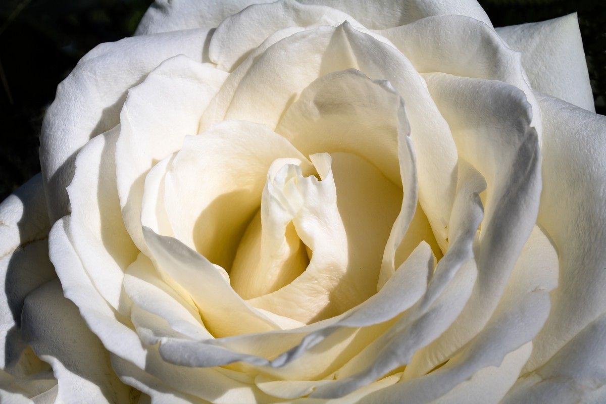 A beautiful white rose.