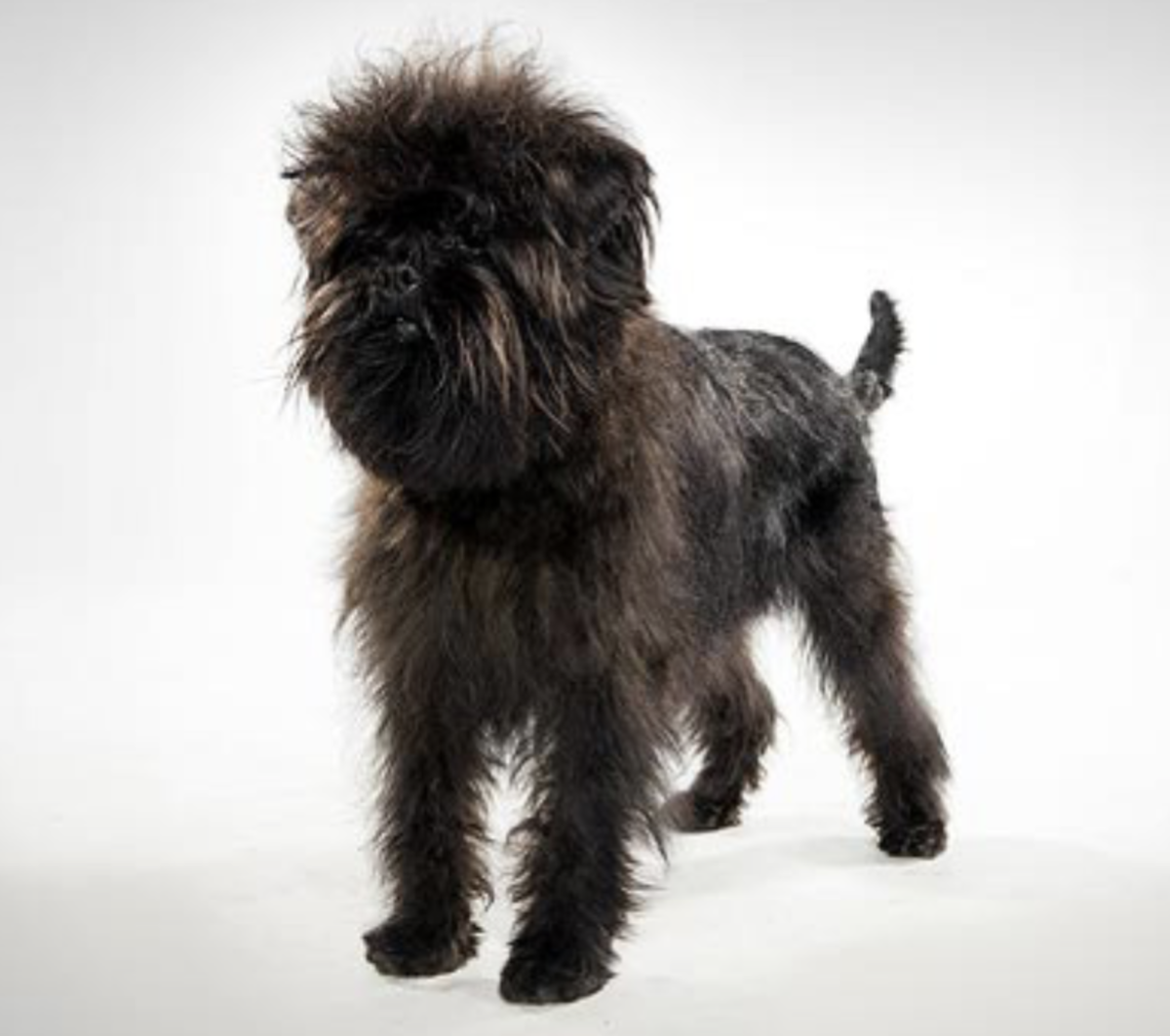 *Affenpinscher. Adorable bangs on him. On me, not so much.