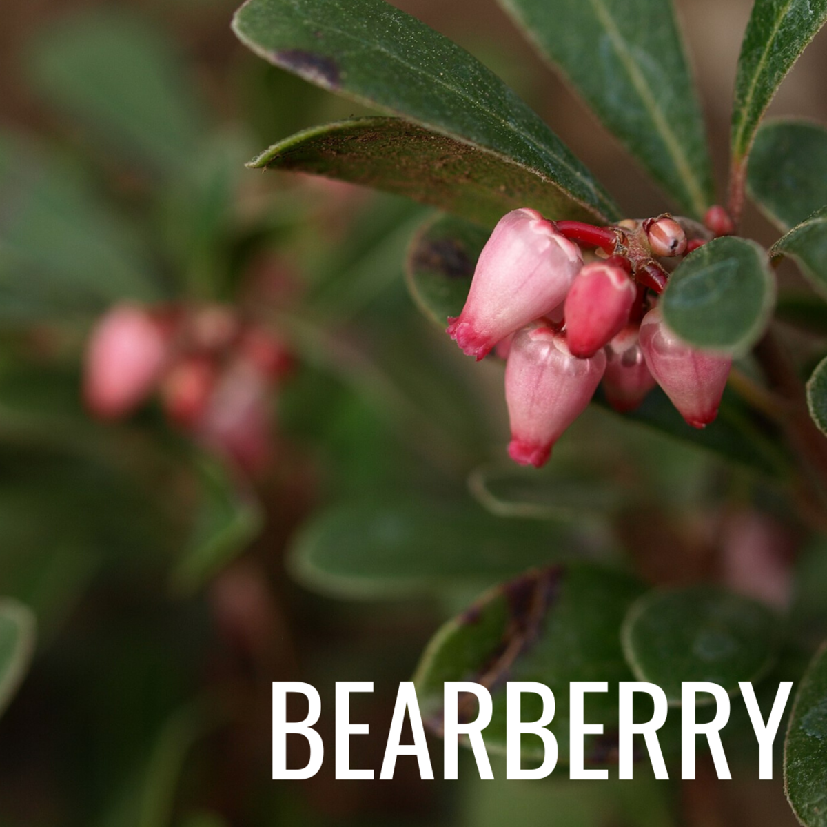 Arbutin is found in natural substances like bearberry and breaks down into hydroquinone—a commonly used skin-brightening ingredient.