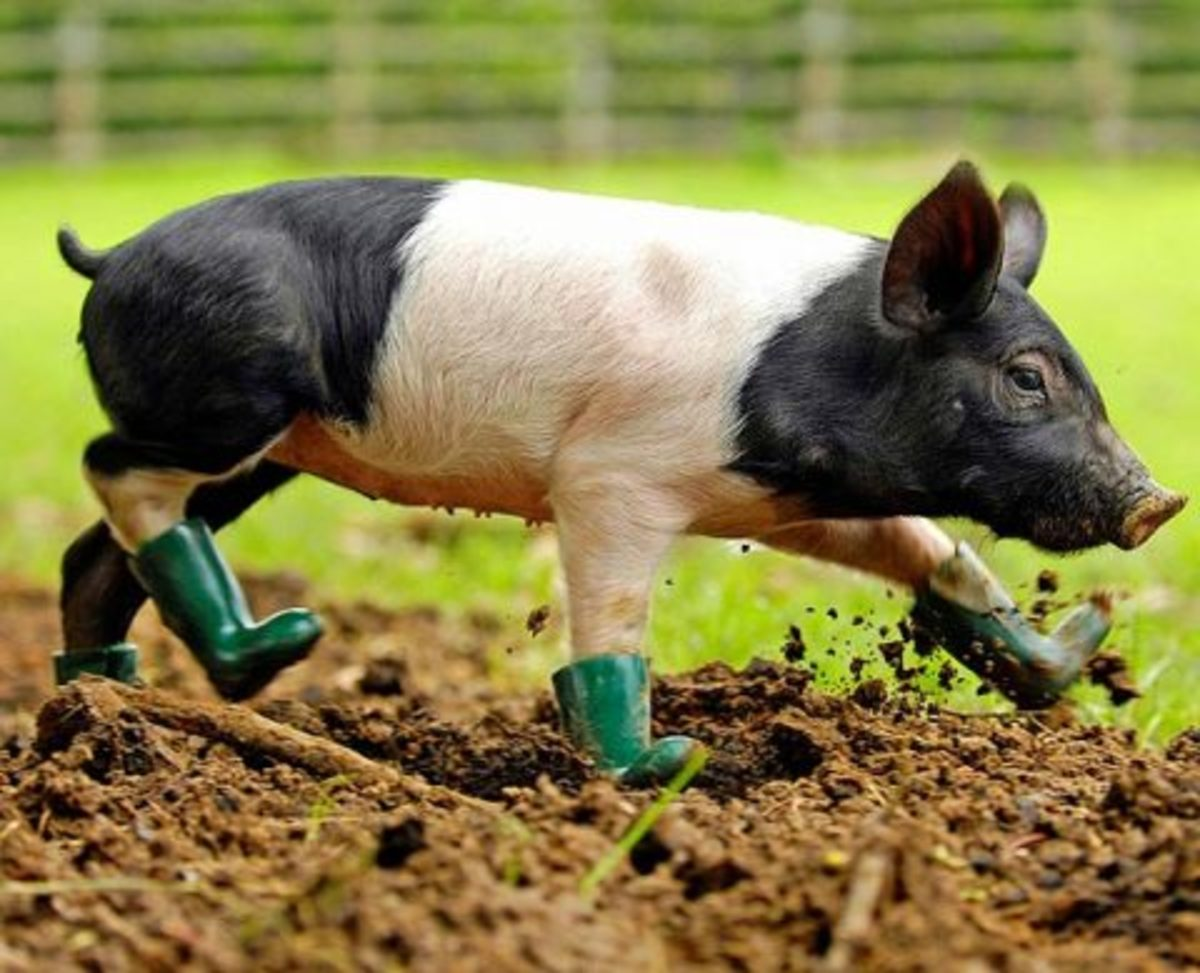Even pigs look great in wellies! Soooooo cute!